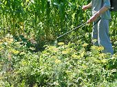 picture of pesticide  - man sprays pesticide on potato plantation in garden in summer