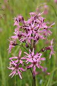 Pink Lychnis Flos-cuculi, Wildflower poster