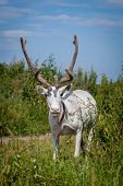 stock photo of caribou  - Female reindeer or caribou, Rangifer tarandus, on green meadow