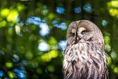 picture of laplander  - The Great Grey Owl or Lapland Owl Strix nebulosa