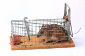 foto of mouse trap  - captured mouse in a mouse live trap - JPG