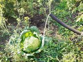 pic of water cabbage  - watering cabbage from handshower in garden in summer day - JPG