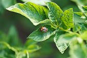 stock photo of potato bug  - colorado potato beetle eating potatoes leaves in garden - JPG