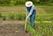 picture of hoe  - man using a hoe to weed his large garden - JPG