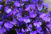 stock photo of lobelia  - close up photo of lobelia flowers from my garden - JPG