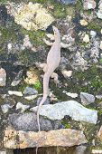 picture of monitor lizard  - Bengal monitor lizard crawling up the wall - JPG