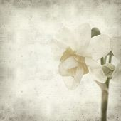 pic of narcissi  - textured old paper background with doule narcissi