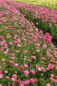 stock photo of rose bud  - Carpet Of Pink Roses at Open Field - JPG
