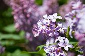 image of lilac bush  - Branch of blooming lilac flowers  in the spring - JPG