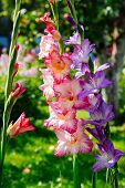 stock photo of gladiolus  - Three beautiful gladioluses growing in a garden - JPG