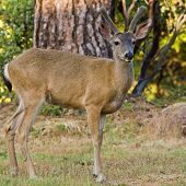 picture of black tail deer  - Black tailed deer stag posing on a lawn in California - JPG