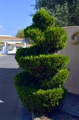 stock photo of conifers  - A view of a spiral Topiary conifer in Portugal - JPG