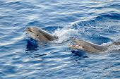 image of aquatic animal  - happy dolphins in the water - JPG