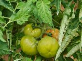 picture of tomato plant  - Tomatoes in a tomato plant in an allotment garden in Croatia - JPG