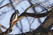 image of woodpecker  - Great Spotted Woodpecker  - JPG