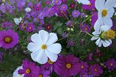 picture of cosmos  - Cosmos  - JPG