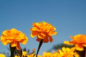 pic of marigold  - Beautiful marigolds flower in the garden of Thailand - JPG