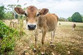 stock photo of calves  - A sweet calf is investigating a newcomer in the background some sheep are curious as well - JPG