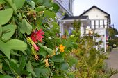image of mendocino  - view of ivy with flowers in town of Mendocino in Northern California - JPG