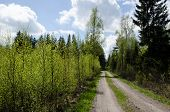 pic of coniferous forest  - Gravel road into a coniferous forest with fresh green spring colors - JPG