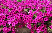 stock photo of petunia  - Annual Flower - JPG