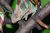 image of chameleon  - The veiled chameleon Chamaeleo calyptratus is a large species of chameleon found in the mountain regions of Yemen the United Arab Emirates and Saudi Arabia - JPG