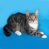 foto of blue tabby  - Tabby kitten with white spots lies on blue background - JPG