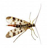 image of gnat  - Mosquito isolated on white background - JPG