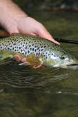 picture of caught  - Closeup of brown trout caught by fisherman - JPG