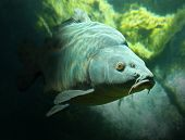 image of sunbather  - Underwater photo of a trophy Mirror Carp  - JPG