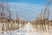 picture of southern  - winter vineyard - JPG