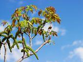 pic of walnut-tree  - Close - JPG