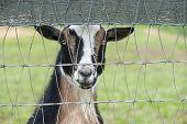 stock photo of pygmy goat  - Close - JPG