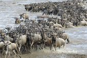 picture of wildebeest  - Wildebeest coming out the river after crossing - JPG