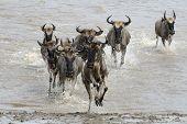 foto of wildebeest  - Wildebeest migration running through water towards the camera - JPG