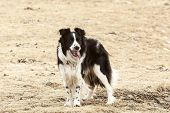 foto of attention  - Portrait of an attentive and watchful border collie - JPG