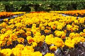 image of marigold  - Marigold flowers are blooming in the garden - JPG