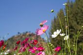 stock photo of cosmos flowers  - Cosmos flowers are blooming in the garden - JPG
