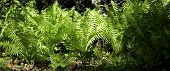 stock photo of fern  - Fern leaves and bush in the summer forest - JPG