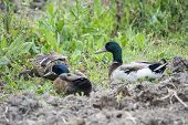 stock photo of duck-hunting  - Ducks Mallard Anas platyrhynchos - JPG