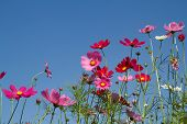 pic of cosmos flowers  - Cosmos flowers are blooming in the garden - JPG