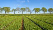 picture of row trees  - Row of trees along a field with tulips in spring - JPG