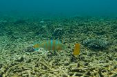 stock photo of butterfly fish  - Underwater photography of a parrot fish and a butterfly fish - JPG