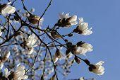 stock photo of magnolia  - Beautiful magnolia flower on the springtime in park - JPG