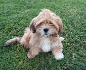 stock photo of droopy  - cute little puppy on lawn with droopy eyes and black nose - JPG