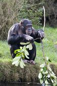 picture of chimp  - a female chimpanzee holding a leafy branch - JPG