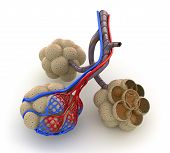 pic of bronchus  - Alveoli in lungs  - JPG