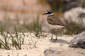stock photo of killdeer  - A Killdeer on the sandy shore of a river - JPG