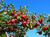 picture of apple tree  - A bunch of apples waiting to be picked - JPG