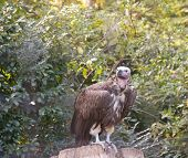 Vulture Sitting On Rock